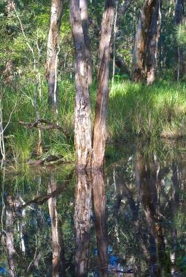 Reflections of eucalyptus and the melaleuca trees