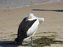 Peek a boo! Pelican trying to hide its face in its feathers.