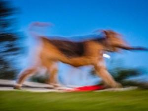 Dog at play blurred