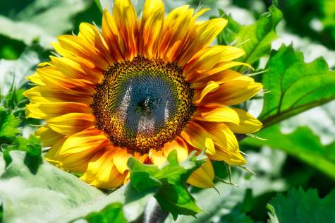 Sunflower magic!