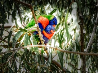 Lorikeets love to cuddle.