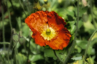 Brilliant orange poppy.