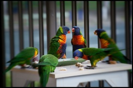 Lorikeets having a chat while eating.
