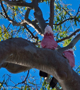 A couple of galahs watching over the world together.