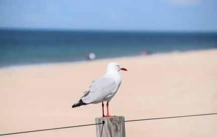 When you're a seagull, fences are for perching on and surveying the scene.