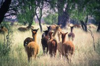 Alpacas heading down a long grassy path to who knows where.