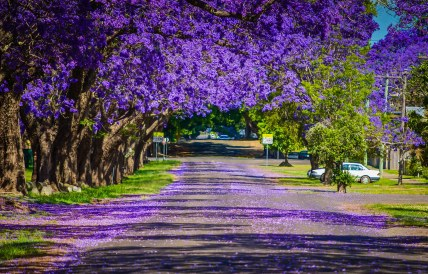 A favourite road...adorned with beautiful jacaranda trees.